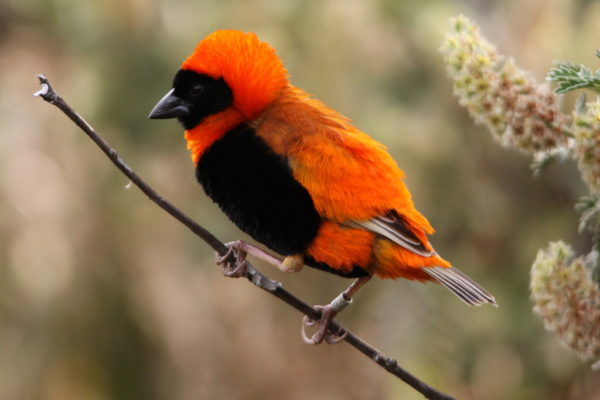 Southern_Red_Bishop_or_Red_Bishop_(Euplectes_orix)_(1)